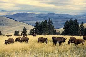 Bison's